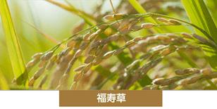 〈三共グループ〉福寿草